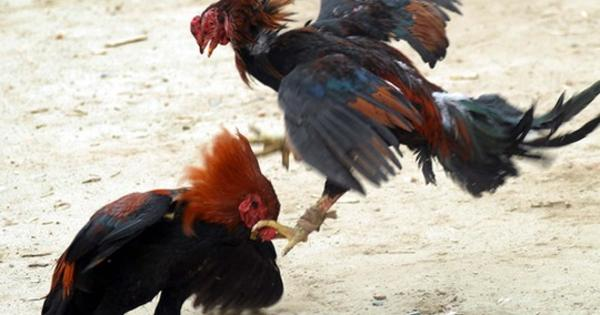 Persyaratan Mutlak Yang Harus Dipunyai Ayam Petarung